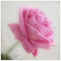 Pink Rose by Eijaite