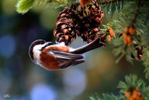 Chestnut-backed Chickadee by Momenti-Photo