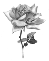 black and white Rose by meredith-grey