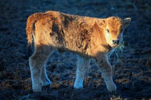 ...young cow... by Ulliart