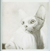 My Sphynx cat Flamme d'argent by Daturanoire