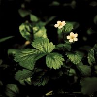 FRAGARIA VESCA by AlexEdg