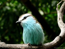 Racket-tailed Roller by sarah2231