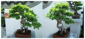 A T W - Bonsai Monkey Tree. by meaikoh