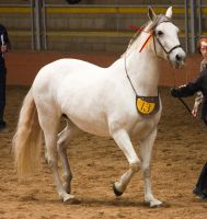STOCK - 2014 Andalusian Nationals-160 by fillyrox