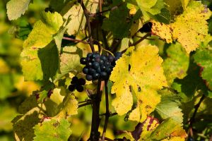 wine deaf and leaves2 by archaeopteryx-stocks