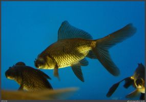 Fish Stock 0082 by phantompanther-stock
