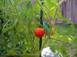 My first cherry tomato by Shoofly-Stock