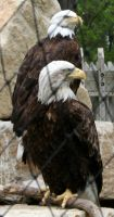 Gage Park Zoo 44 - Bald Eagle by Falln-Stock