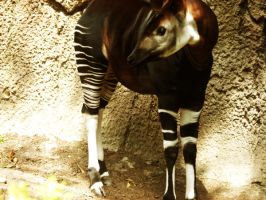 Okapi by earlymorningdistopia