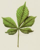 Horse Chestnut leaf by WildWoodArtsCo