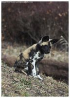 African Wild Dog - Pups 001 by ShineOverShadow
