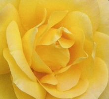Yellow Rose by Singing-Wolf-12