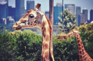 Giraffes @ Taronga Zoo by RaineyJ
