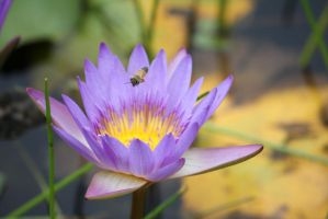 Purple water lily 2419 by fa-stock