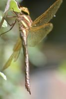Shropshire damsels and dragons 2 2 by melrissbrook