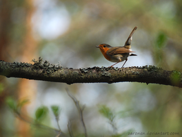 European robin by Zaronen