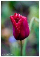 tulip by dispicture