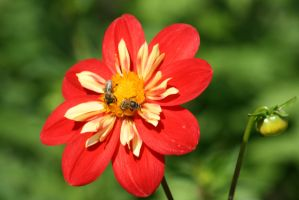 dahlia with insects 2 by ingeline-art