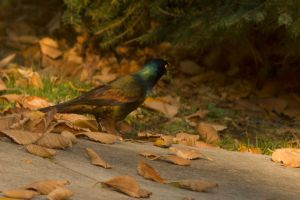 Common Grackle Oct - 27 - 2014 - 1 by toshema