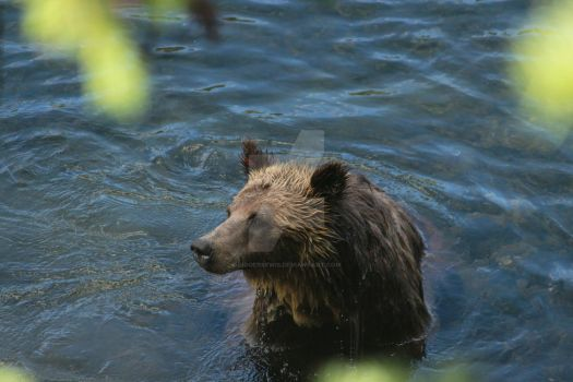 Wet Grizzly by Lidgerbewis