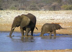 Elephant and Young Namibia by Jenvanw