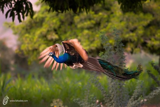 Indian peafowl by fahadee