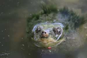 Snapping Turtle by Lynxwing