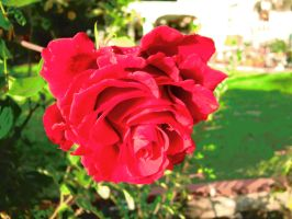 Red Rose by eurybiades