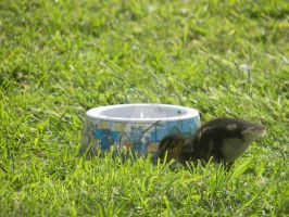 The Duckling and Ironic Bowl by smiffypro