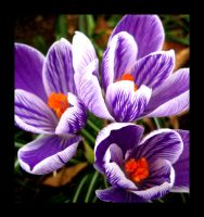 Crocus Boquet by aelthwyn