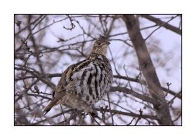 Ruffed-Grouse by dove-51