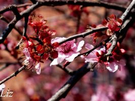 Cherry Blossoms in Spring by smilielizzie2