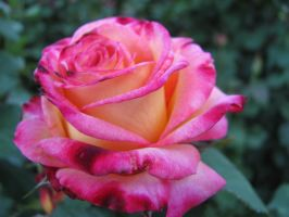 Pink Tipped Yellow Rose by revenge-of-nerd-girl