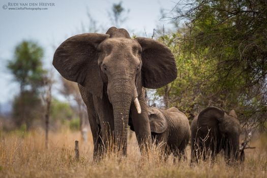 Single Tusker Mom by RudiVanDenHeever