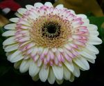 Gerbera Flower Reference Stock by Enchantedgal-Stock