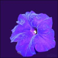 Petunia Purple by astroviolet