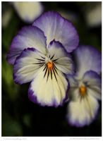 Sorbet Coconut Viola 39 of 365 by In-the-picture