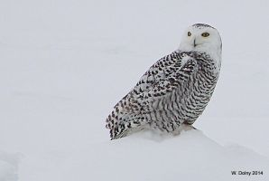 Snowy Owl by lenslady