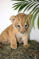 LCR Baby Lion by RBcolor