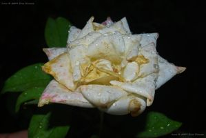 Wet Old Rose by eanimusic