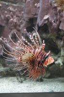 Pterois 02 by FoxRAGE-Stock