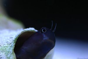 Bicolor Blenny macro by oOBrieOo
