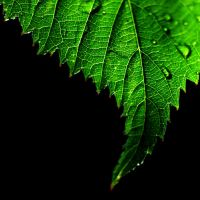 blackberry leaf by augenweide