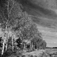 a line of birches by augenweide
