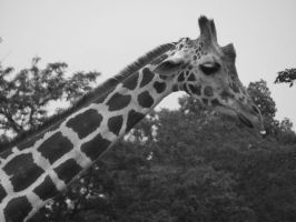 The Zoo: Giraffe Close-Up B+W by en-visioned