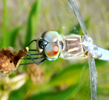 Blue Dasher with Puppy Eyes by Fail-Avenger