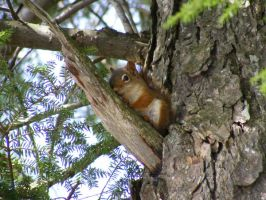 The wild, untamed squirrel by sockypoo
