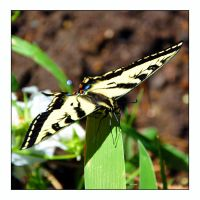 Western Tiger Swallowtail by hugznstuff