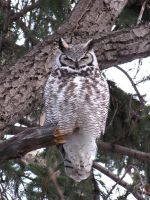 Great Horned Owl 2 by XxSilverFalconxX